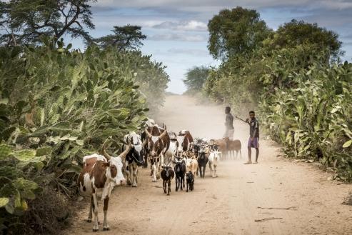 Madagascar Zebus