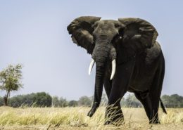 Majestic Elephant Bull