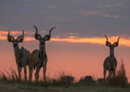 Majestic Kudu Bulls by Dan MacKenzie