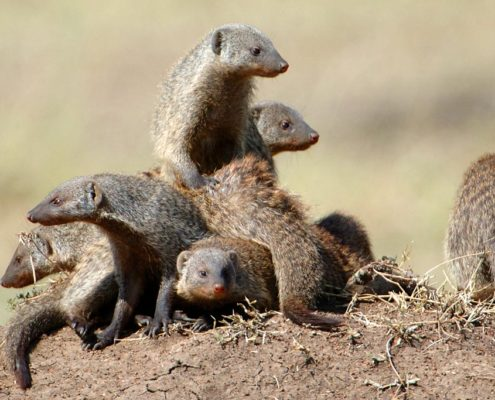 Mara Mongoose Family