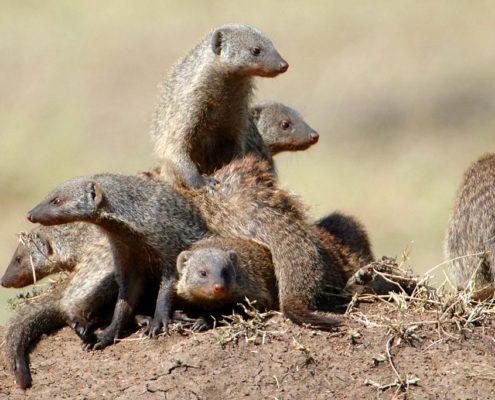 Mara Mongoose Family