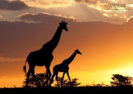 Mara Plains Giraffe