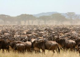 Migration Herd in Kenya