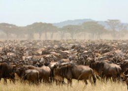 Migration Herd in Kenya