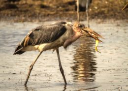 Morning Snack For A Marabou Stork