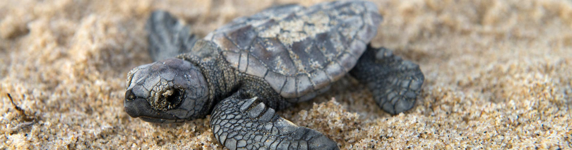 Mozambique Safari Turtle Hatchling