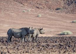 Nambia Desert Adapted Rhino1