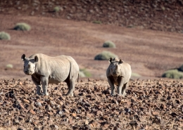 Namibia Desert Black Rhino
