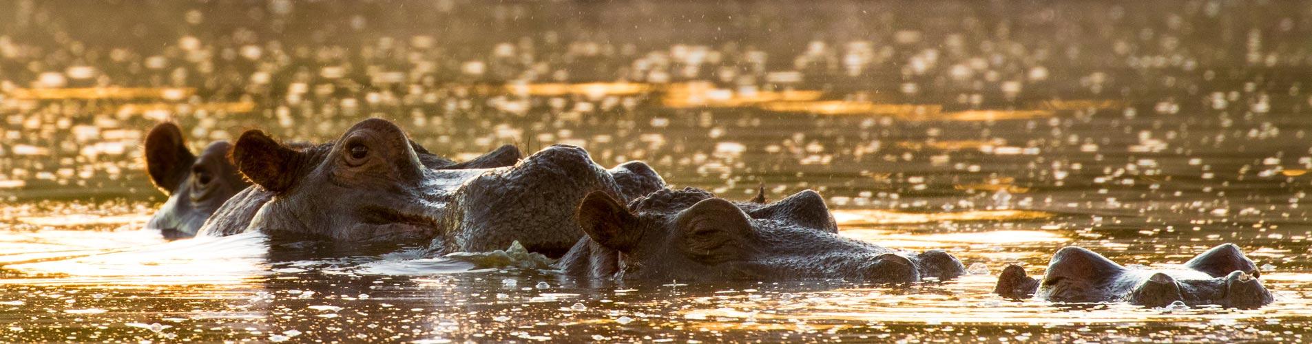 Photographic Safaris Hippos