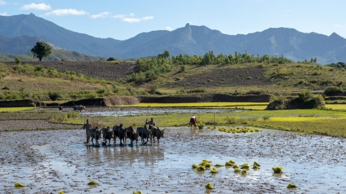 Plowing the Rice Fields