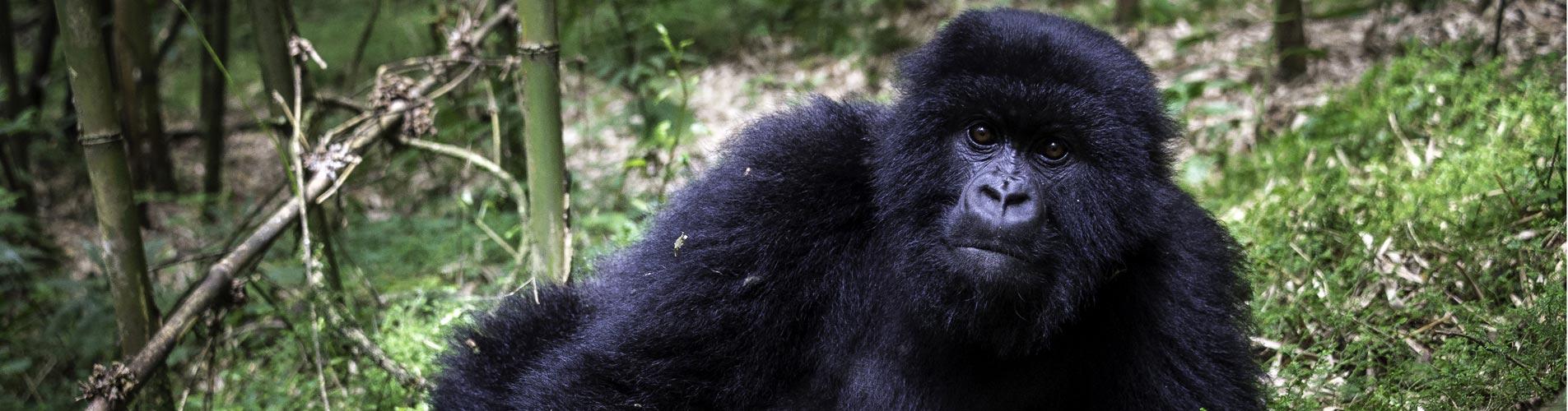 Rwanda Safaris Gorilla