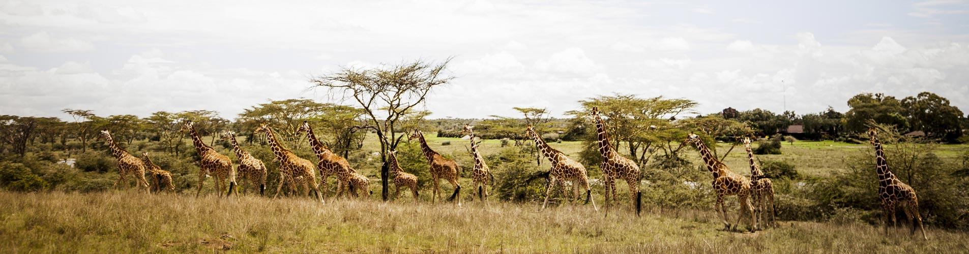 Segera Giraffes in Kenya