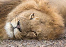 Sleepy Male Lion