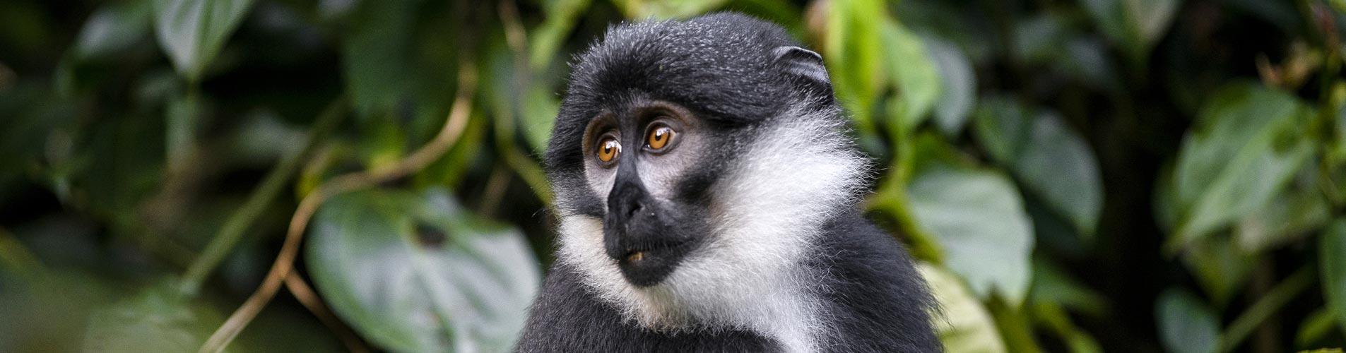 Spectacular Primates Of Uganda