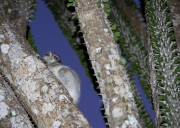 Sportive Lemur in Spiny Forest