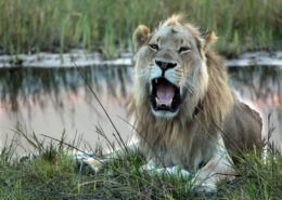 The Lazy Life Of a Lion