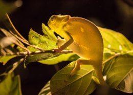 Translucent Chameleon by Dan MacKenzie