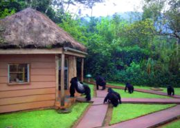 Unexpected Visitors at Sanctuary Gorilla Lodge