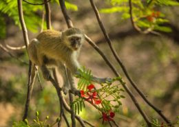 Vervet Monkey Between Flamboyant Flowers