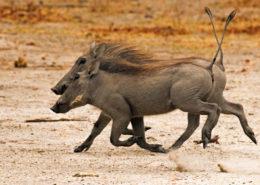 Warthog Buddies