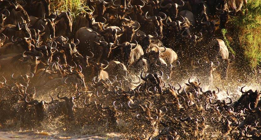 Wildebeest during the great migration