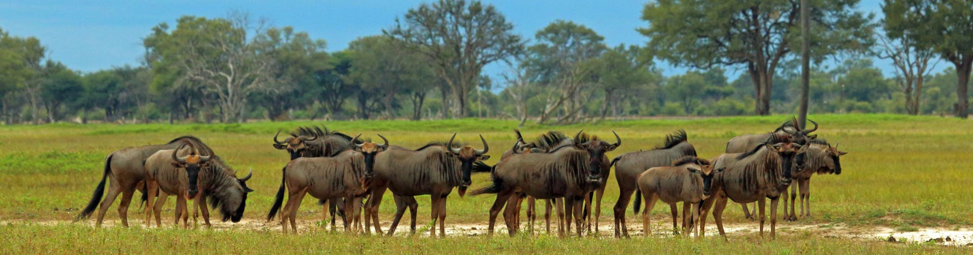 Wildebeest in Zimbabwe