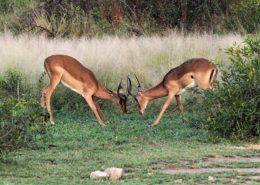 Young Impala Rams