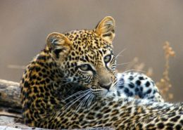 Young Leopard in Kenya