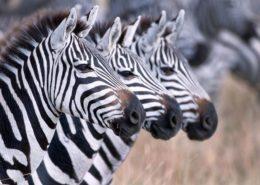 Zebra in Tanzania
