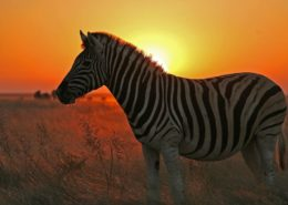 Kenya Zebra at Sunset