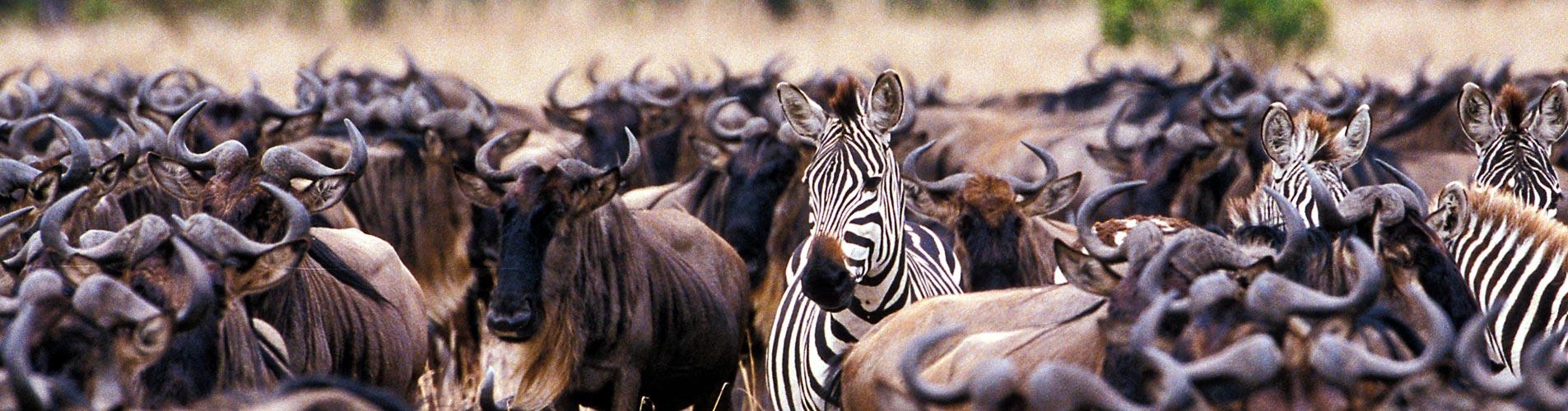 Zebra In Wildebeest Herd in Kenya